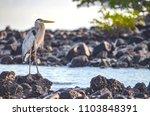 a great blue heron  ardea... | Shutterstock . vector #1103848391