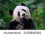 panda bear enjoying eating...   Shutterstock . vector #1103860181