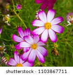 dainty carmine  pink and white... | Shutterstock . vector #1103867711