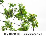 green leaves isolated on white... | Shutterstock . vector #1103871434