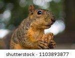 closeup of squirrel eating. | Shutterstock . vector #1103893877