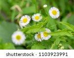 Small photo of Philadelphia fleabane flower