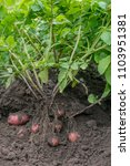 Small photo of Tubers Yield of Potato Plants Cultivated in the Farm Field.