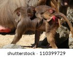 young hamadryas baboon ( Papio hamadryas) hanging on to it's mother - stock photo