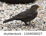 close up of a female blackbird... | Shutterstock . vector #1104038327