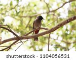 nightingale look at me | Shutterstock . vector #1104056531