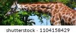 the giraffe  giraffa...   Shutterstock . vector #1104158429