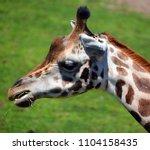 the giraffe  giraffa...   Shutterstock . vector #1104158435