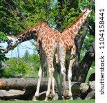 the giraffe  giraffa...   Shutterstock . vector #1104158441