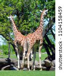 the giraffe  giraffa...   Shutterstock . vector #1104158459