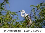 great egret    ardea alba   ... | Shutterstock . vector #1104241919