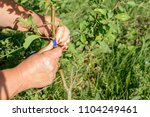 Small photo of Gardener wraps grafted place by grafting tape
