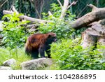 brown wolverine outside on a...   Shutterstock . vector #1104286895