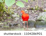 red shiny ibis standing in the...   Shutterstock . vector #1104286901