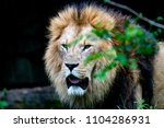 big male african lion with...   Shutterstock . vector #1104286931