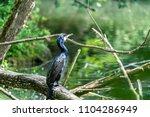 cormoran sitting on a piece of...   Shutterstock . vector #1104286949