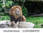 big male african lion with...   Shutterstock . vector #1104286955