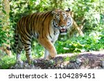 Siberian Tiger In The...