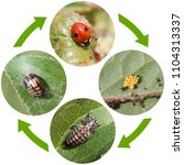 Life Cycle Of Two Spot Ladybird ...