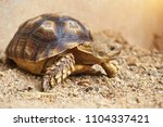 Stock photo  close up baby african spurred tortoise resting in the garden slow life africa spurred tortoise 1104337421