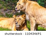two  lionesses | Shutterstock . vector #110434691