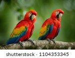 pair of big parrots scarlet...   Shutterstock . vector #1104353345