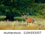 red deer stag  majestic... | Shutterstock . vector #1104353357