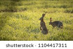 Stock photo brown hares in morning light 1104417311