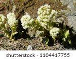 blossom of a butterbur in april ... | Shutterstock . vector #1104417755