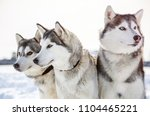 Three Siberian Husky Dogs Looks ...