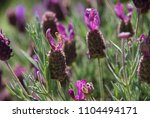 lavender bushes and leaves | Shutterstock . vector #1104494171