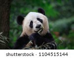 panda bear looking at the... | Shutterstock . vector #1104515144