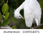 fuzzy head of a young great... | Shutterstock . vector #1104516071
