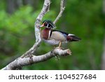wood duck on the silver river... | Shutterstock . vector #1104527684