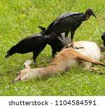 black buzzards take opportunity ...   Shutterstock . vector #1104584591