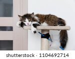striped brown cat resting on... | Shutterstock . vector #1104692714
