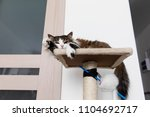 striped brown cat resting on... | Shutterstock . vector #1104692717