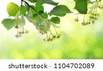 blossoming twig of linden with... | Shutterstock . vector #1104702089