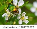 cetonia auratacetonia aurata...   Shutterstock . vector #1104703577