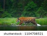 amur tiger walking in the water....   Shutterstock . vector #1104708521