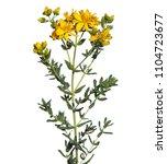 st john's wort plant blooming ... | Shutterstock . vector #1104723677