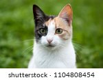 cat portrait. a young three... | Shutterstock . vector #1104808454