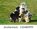 Stock photo australian shepherd puppies playing with ball on the rope 110480999
