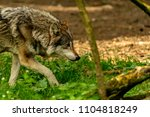 Small photo of An eurasien wolve is going to the hunt