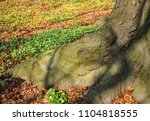 close up on a fagus sylvatica... | Shutterstock . vector #1104818555