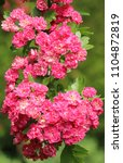 Small photo of pink hawthorn in flower in May Latin crataegus oxyacantha family rosacea or ornamental thorn by Michael Swan