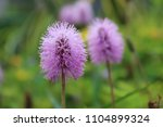 small violet flower | Shutterstock . vector #1104899324