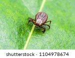 encephalitis virus or lyme... | Shutterstock . vector #1104978674