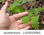 hand of farmer growing and... | Shutterstock . vector #1105033985