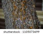 mustard powder lichen... | Shutterstock . vector #1105073699